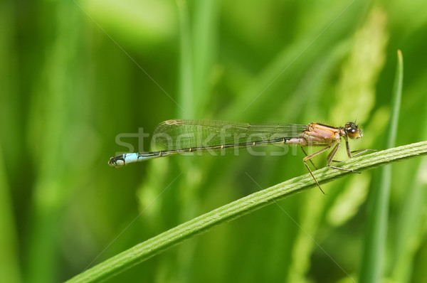 blue-tip damselfly Stock photo © nelsonart