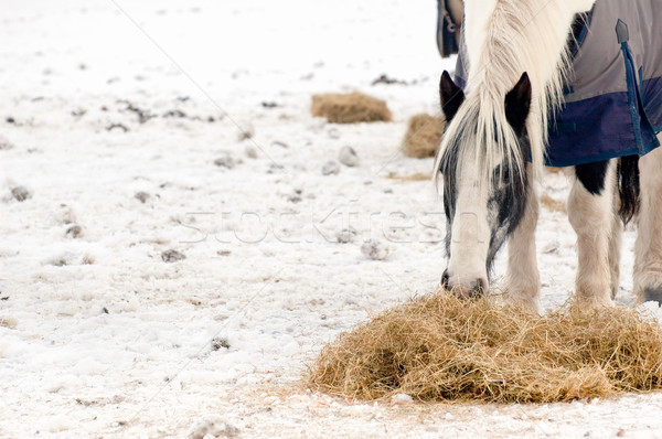 horse feeding Stock photo © nelsonart