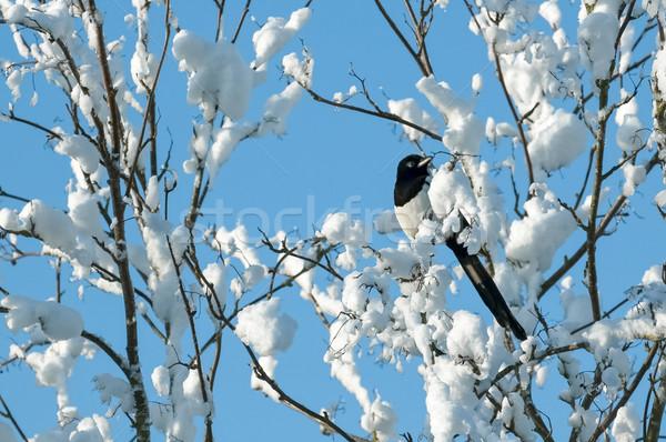 magpie in snow Stock photo © nelsonart