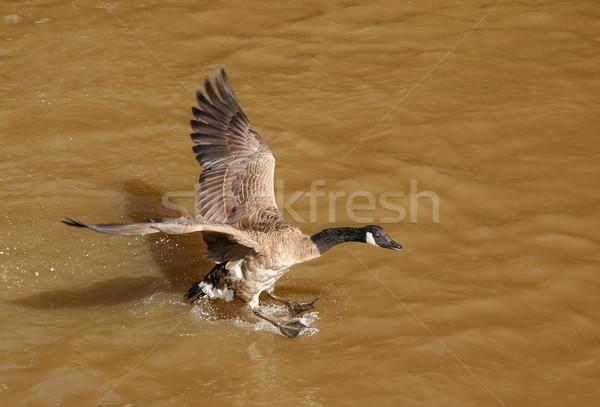 Канада гусь посадка грязный воды природы Сток-фото © nelsonart
