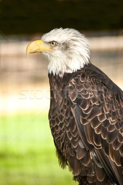 Americano Águia retrato norte careca Foto stock © nelsonart