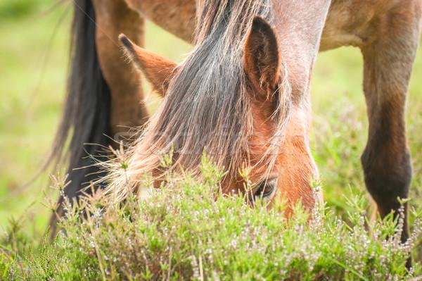 pony grazing Stock photo © nelsonart