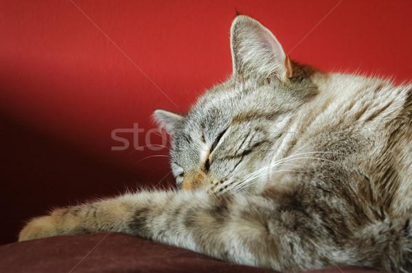 Alszik macska gyönyörű közelkép piros állatok Stock fotó © nelsonart