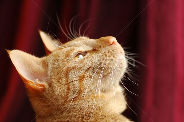 Distraído gato gengibre beleza vermelho animais Foto stock © nelsonart