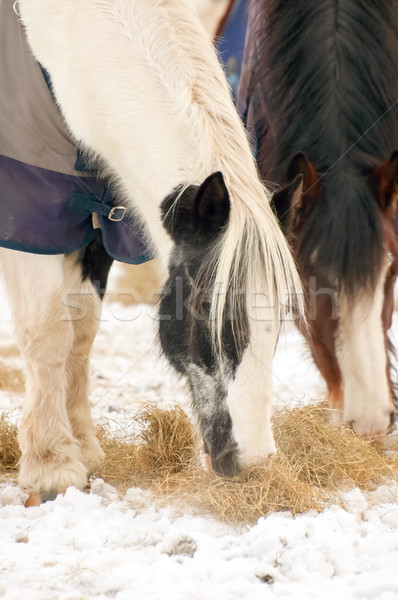 horses feeding Stock photo © nelsonart