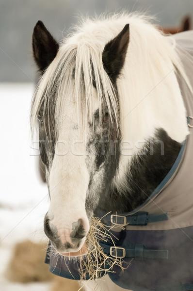 pony feeding Stock photo © nelsonart