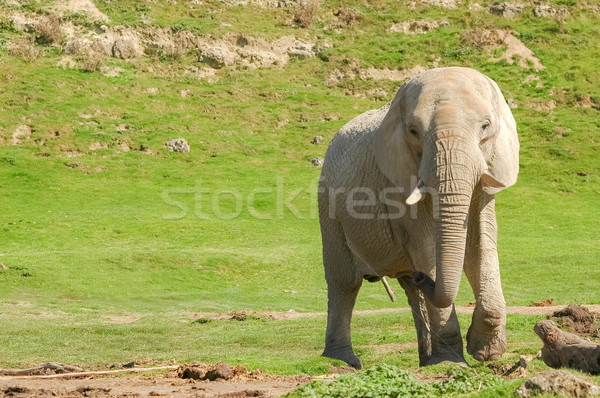 indian elephant Stock photo © nelsonart