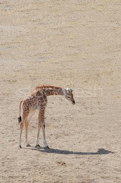 Bebé jirafa sombra empresa naturaleza desierto Foto stock © nelsonart