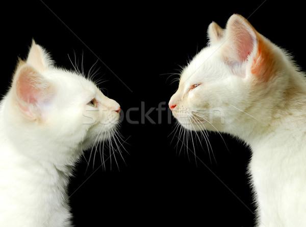 Fiútestvérek kettő fehér kiscicák szemtől szembe fekete Stock fotó © nelsonart