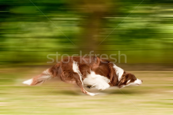 dog running motion blur Stock photo © nelsonart