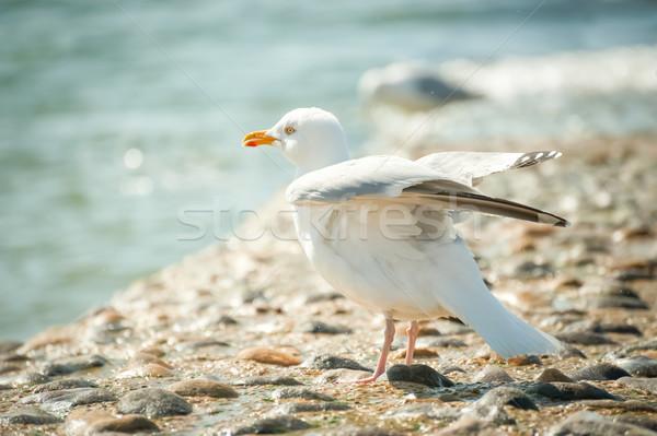 Zeemeeuw zee spray schoonmaken vleugels zomer Stockfoto © nelsonart
