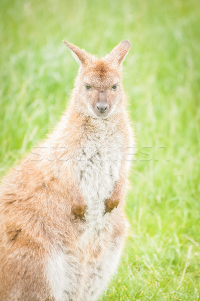 wallaby Stock photo © nelsonart