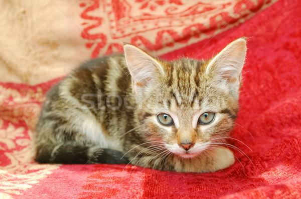 котенка Cute любопытный прямой камеры Сток-фото © nelsonart