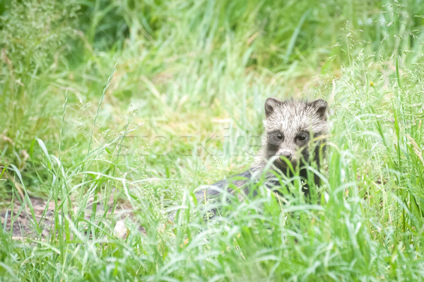 magnut raccoon dog Stock photo © nelsonart