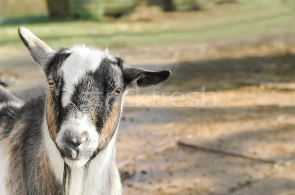 farmyard goat Stock photo © nelsonart