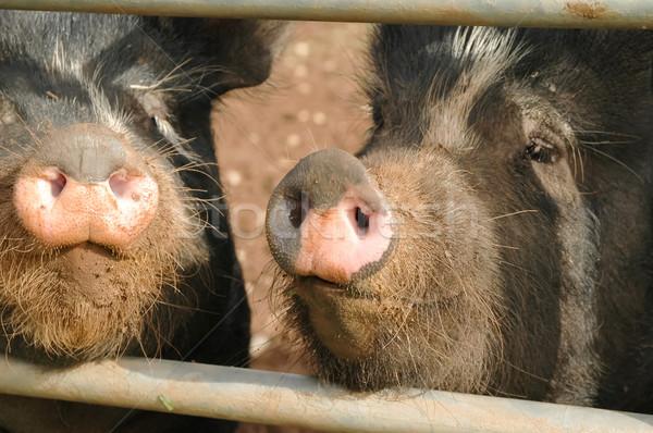 Disznó közelkép kettő sáros malacok étel Stock fotó © nelsonart