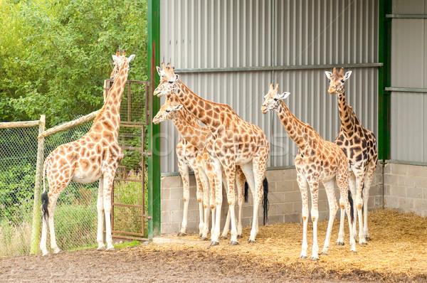 herd of giraffes Stock photo © nelsonart