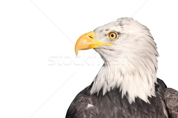 isolated eagle Stock photo © nelsonart