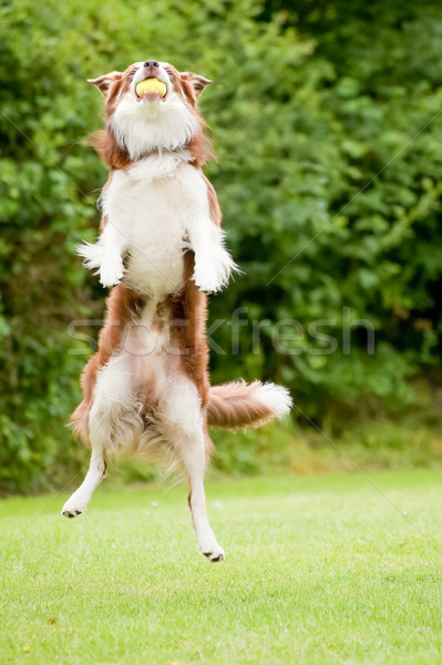 Canino energético perro pelota de tenis perros Foto stock © nelsonart