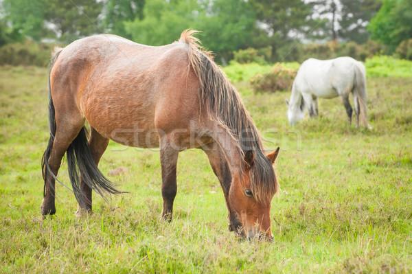 new forest ponies Stock photo © nelsonart