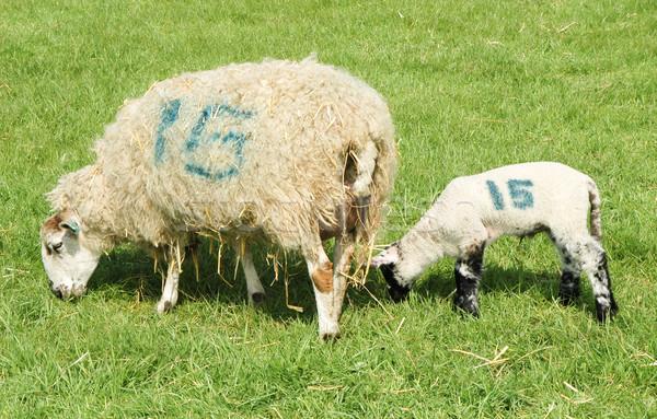 numbered sheep Stock photo © nelsonart