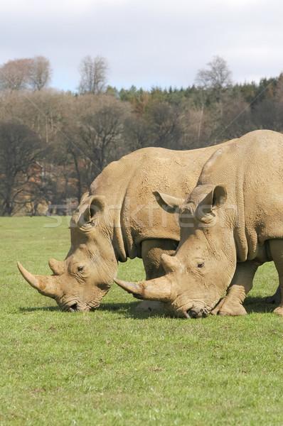 Dois animais selvagens parque animais preto branco Foto stock © nelsonart
