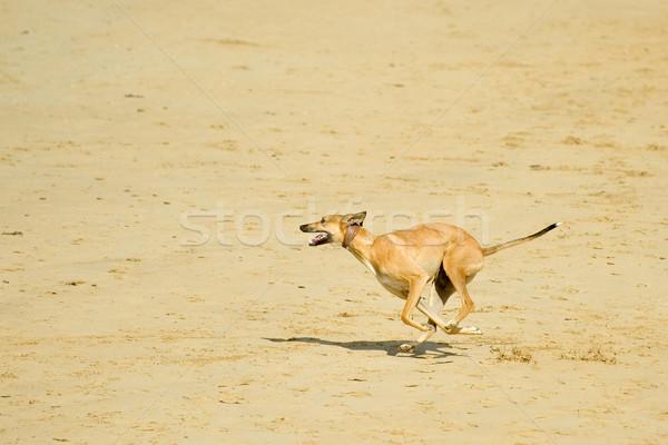 Ejecutar playa energético perro ejecutando velocidad Foto stock © nelsonart