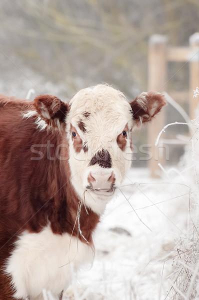 Vache jeunes Homme domaine visage Photo stock © nelsonart