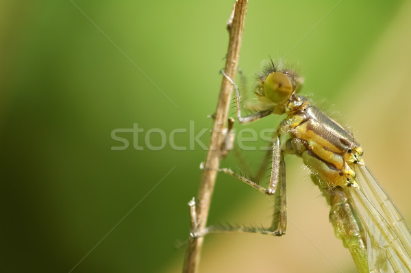 damselfly macro Stock photo © nelsonart