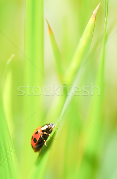 Joaninha lutar verde animais saldo Foto stock © nelsonart