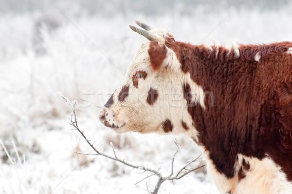 frozen beef Stock photo © nelsonart