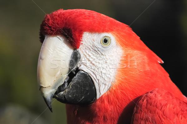macaw Stock photo © nelsonart