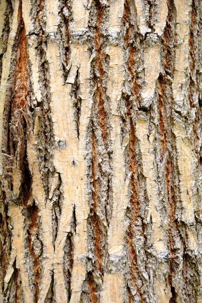 Tree bark Stock photo © nemalo