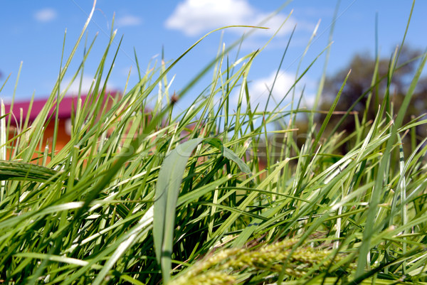 Green grass and the blue sky Stock photo © nemalo