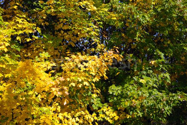 Autumn trees Stock photo © nemalo