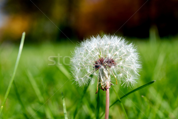 Anthodium of a dandelion. Stock photo © nemalo