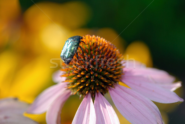 The silvery bug manures on a flower. Stock photo © nemalo