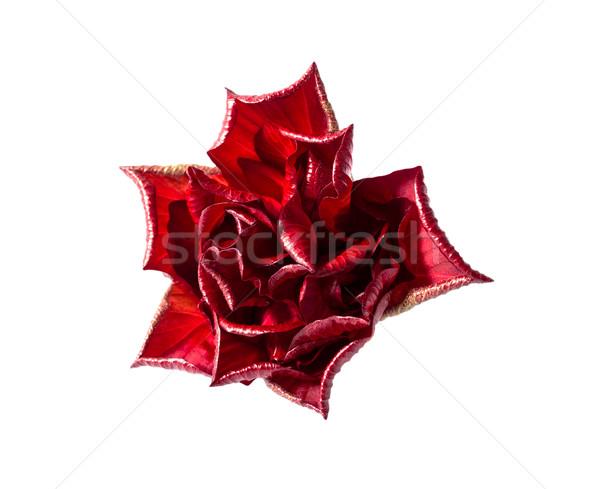 Rosa vermelha isolado branco flor rosa beleza Foto stock © nemalo