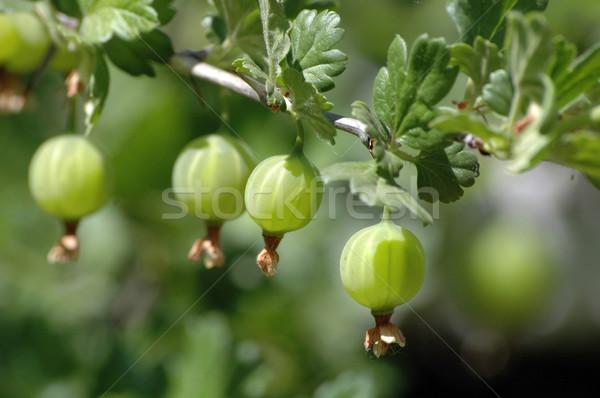 Karpuzu yeşil gıda meyve bahçe yaz Stok fotoğraf © nemalo