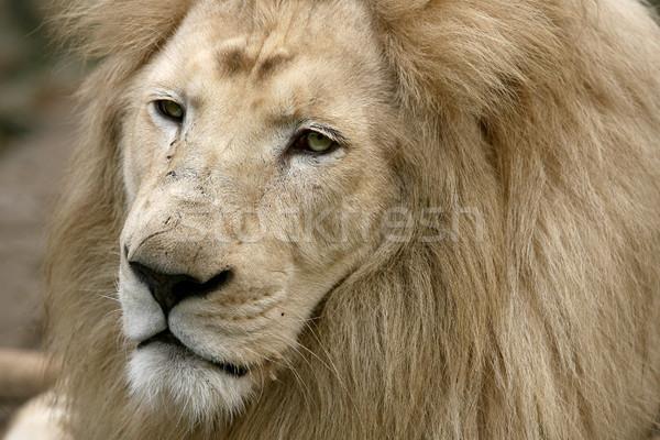 Beyaz aslan kral hayvanlar Afrika burun Stok fotoğraf © nemar974