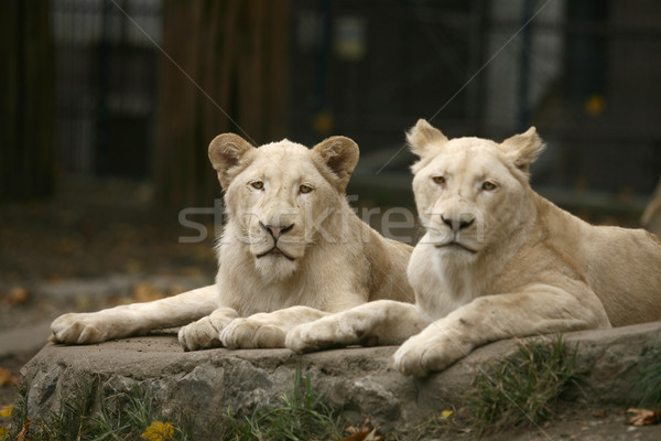 White Lion Stock photo © nemar974