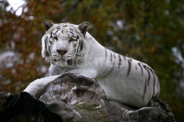 Beyaz kaplan tehlikeli bakıyor orman Stok fotoğraf © nemar974