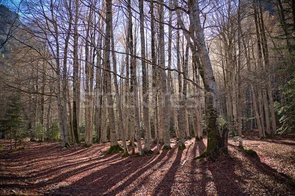 Autumn trees in Ordesa National Park, Pyrenees, Huesca, Aragon,  Stock photo © nenetus