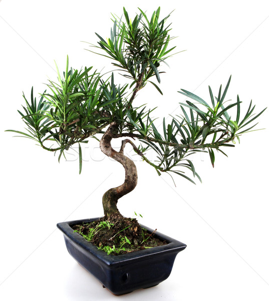 bonsai Stock photo © nenovbrothers