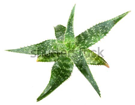 picture of aloe vera leaves detailed Stock photo © nenovbrothers
