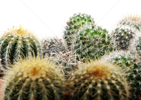 Cactus isolé blanche désert vert couleur Photo stock © nenovbrothers
