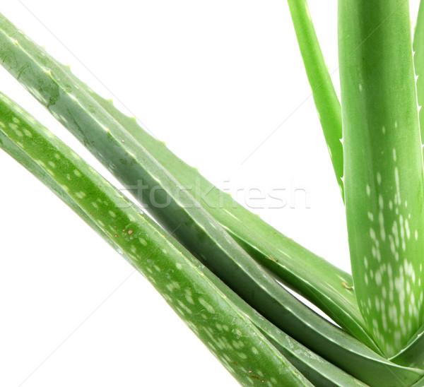 Aloe növény izolált fehér levél sivatag Stock fotó © nenovbrothers