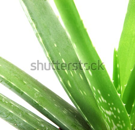 Aloë plant geïsoleerd witte blad woestijn Stockfoto © nenovbrothers