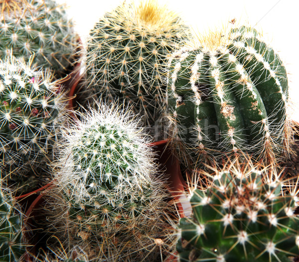 Cactus textura hoja jardín desierto tierra Foto stock © nenovbrothers