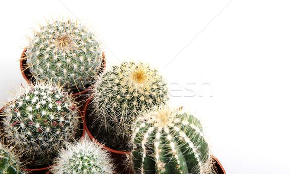 Cactus aislado blanco desierto verde color Foto stock © nenovbrothers